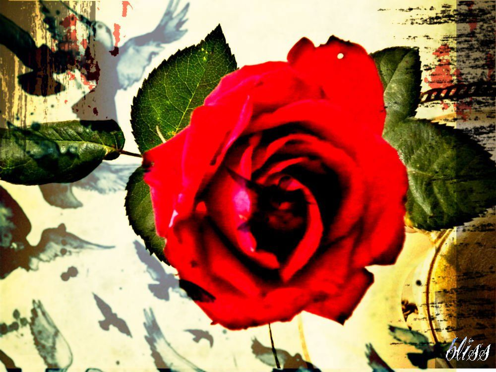 The Rose That Grew From Concrete Artwork Rose Flowers