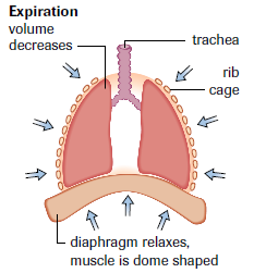 In expiration, contraction of the thoracic cavity and