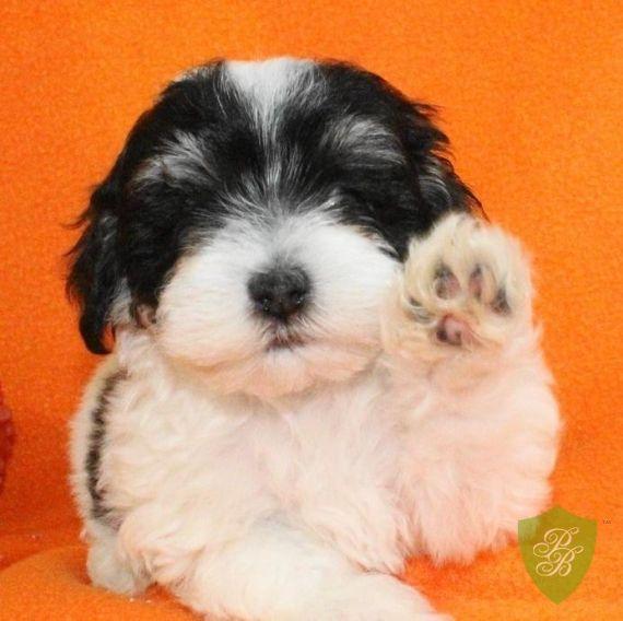 Maltipoo Puppies Maltipoo Puppy