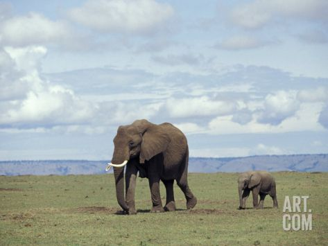 African baby elephant with mother, Masai Mara Game Reserve, Kenya Photographic Print