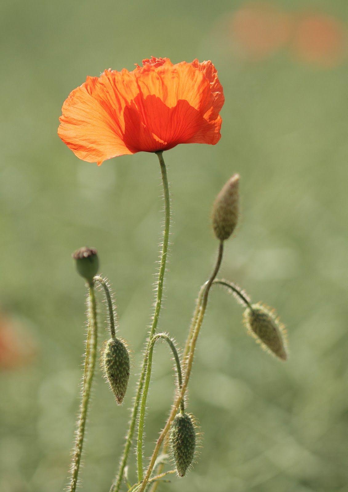 Single Poppy Flower Google Search Ceramics Pinterest