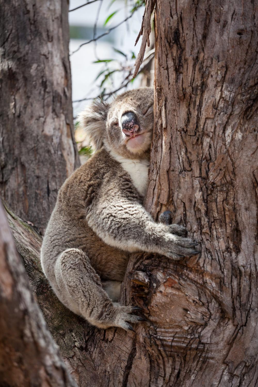Koala hugging eucalyptus tree at its afternoon nap ... - photo#34