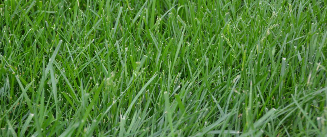 how to get rid of bermuda grass in fescue