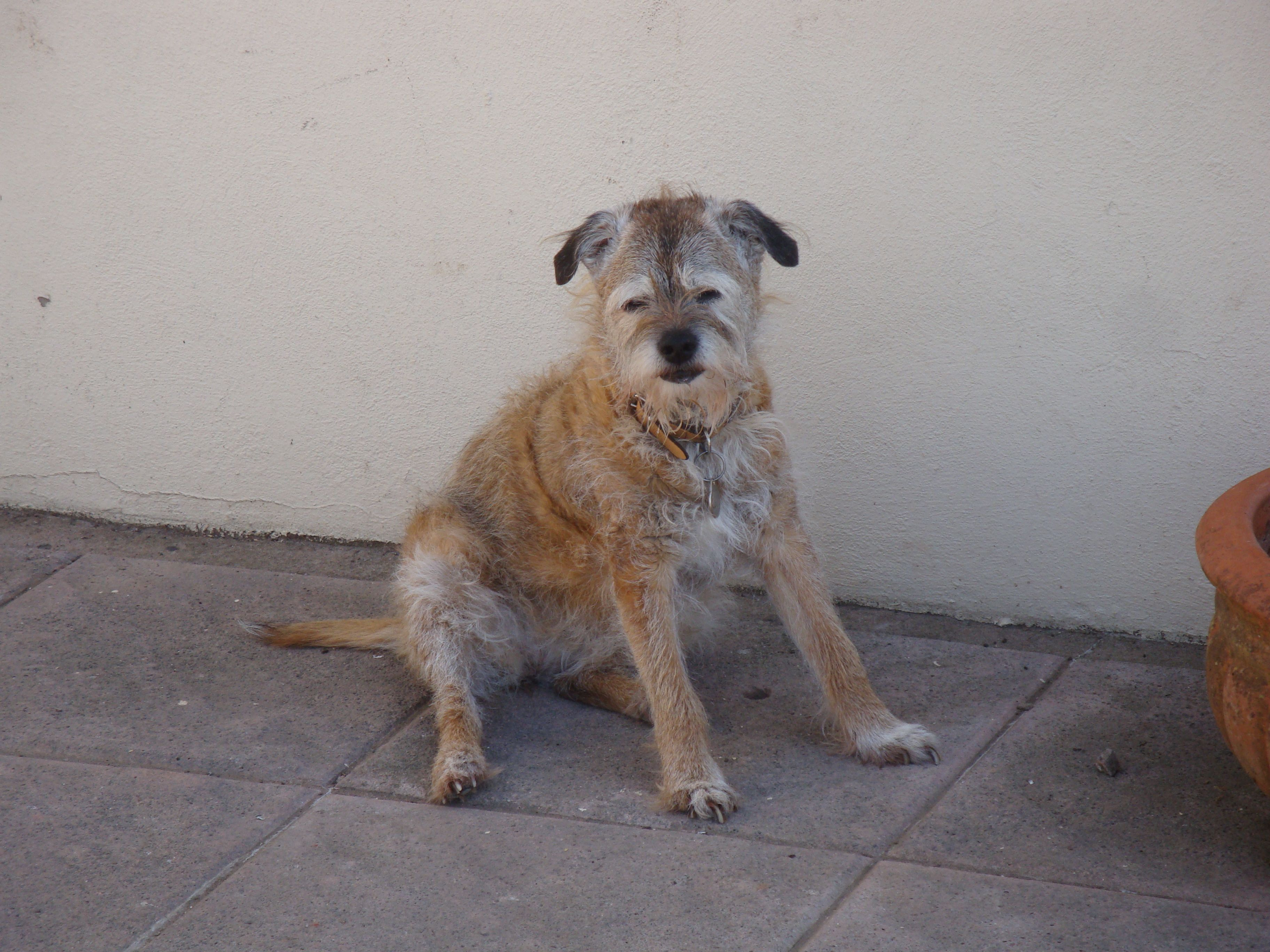 Candy The 17 Year Old Border Terrier Border Terrier Pets Dogs