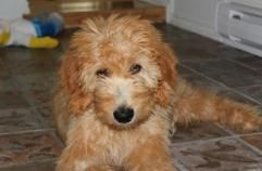 Chai Kennels Home Page Goldendoodles And Labradoodles Nb Goldendoodle Labradoodle Kennel