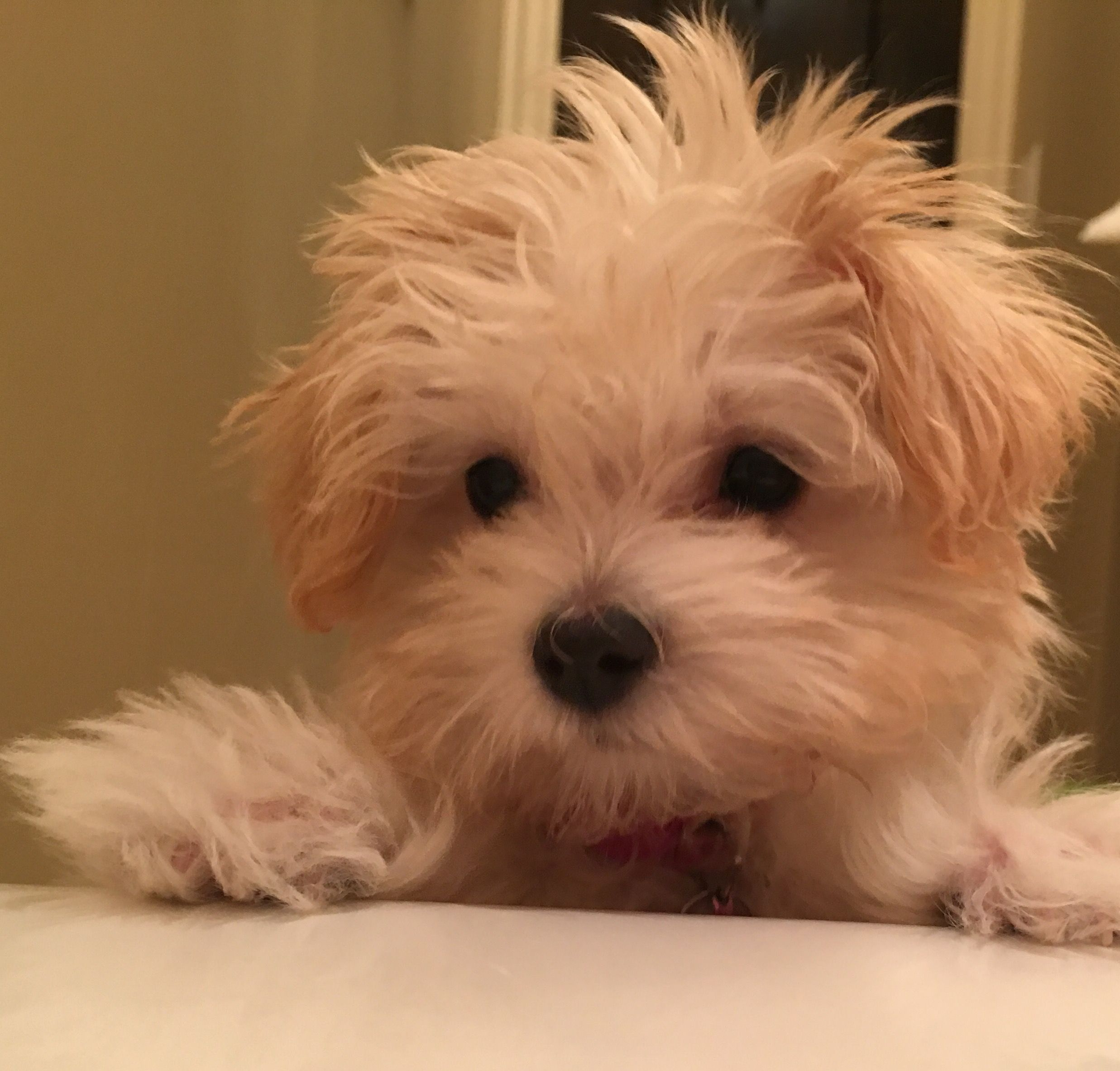 Sophie Our Maltipoo Wants To Take A Bath 14 Week Old Maltipoo