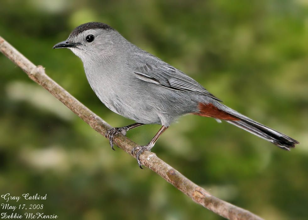 The Gray Catbird Says Meow Fsu Ornithology Pet Birds Catbird Bird Life List