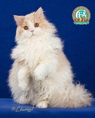 Cream White Longhair Selkirk Rex Male I Love Cats Selkirk Rex Animals Beautiful