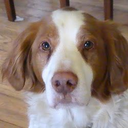 Urgent 103 Brittany S Rescued In Louisiana If You Can Help Contact National Brittany Rescue And Adoption Netw I Love Dogs Cute Dogs Brittany Spaniel Puppies