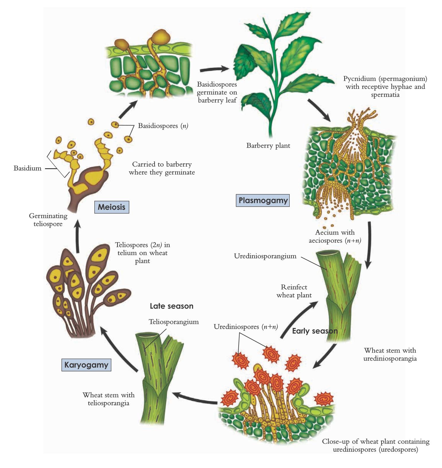 The life cycle of wheat rust, Puccinia graminis | Basidiomycota ...