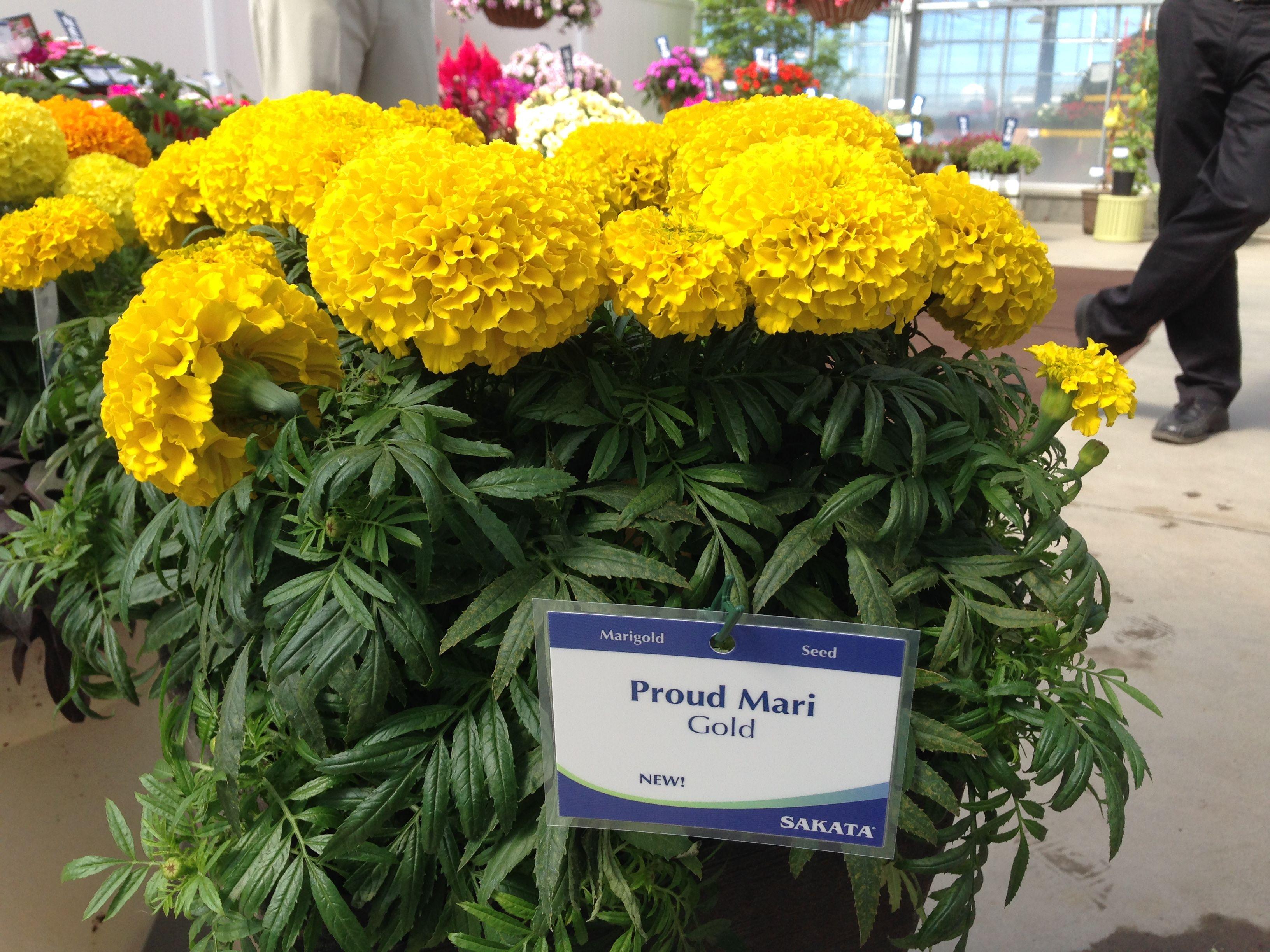 Marigold Proud Mari. Breeder Sakata Plants, Sakata, Marigold