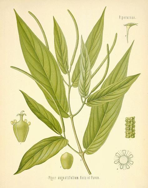Matico  (Piper aduncum printed as  Piper angustifolium LINN.)
