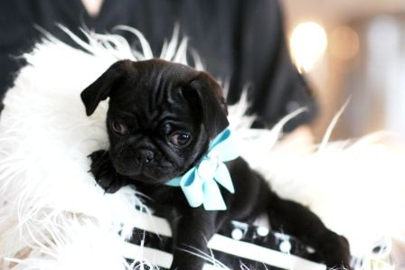Pug Puppies For Sale In South Florida Pug Puppies For Sale Pug