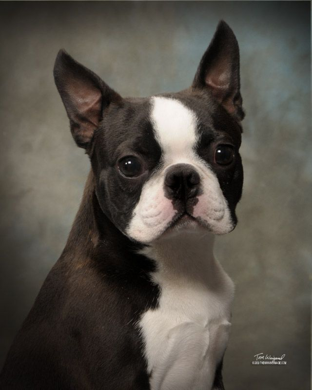 Circle J S Boston Terriers Breeder Puppy For Sale Breeding Puppies