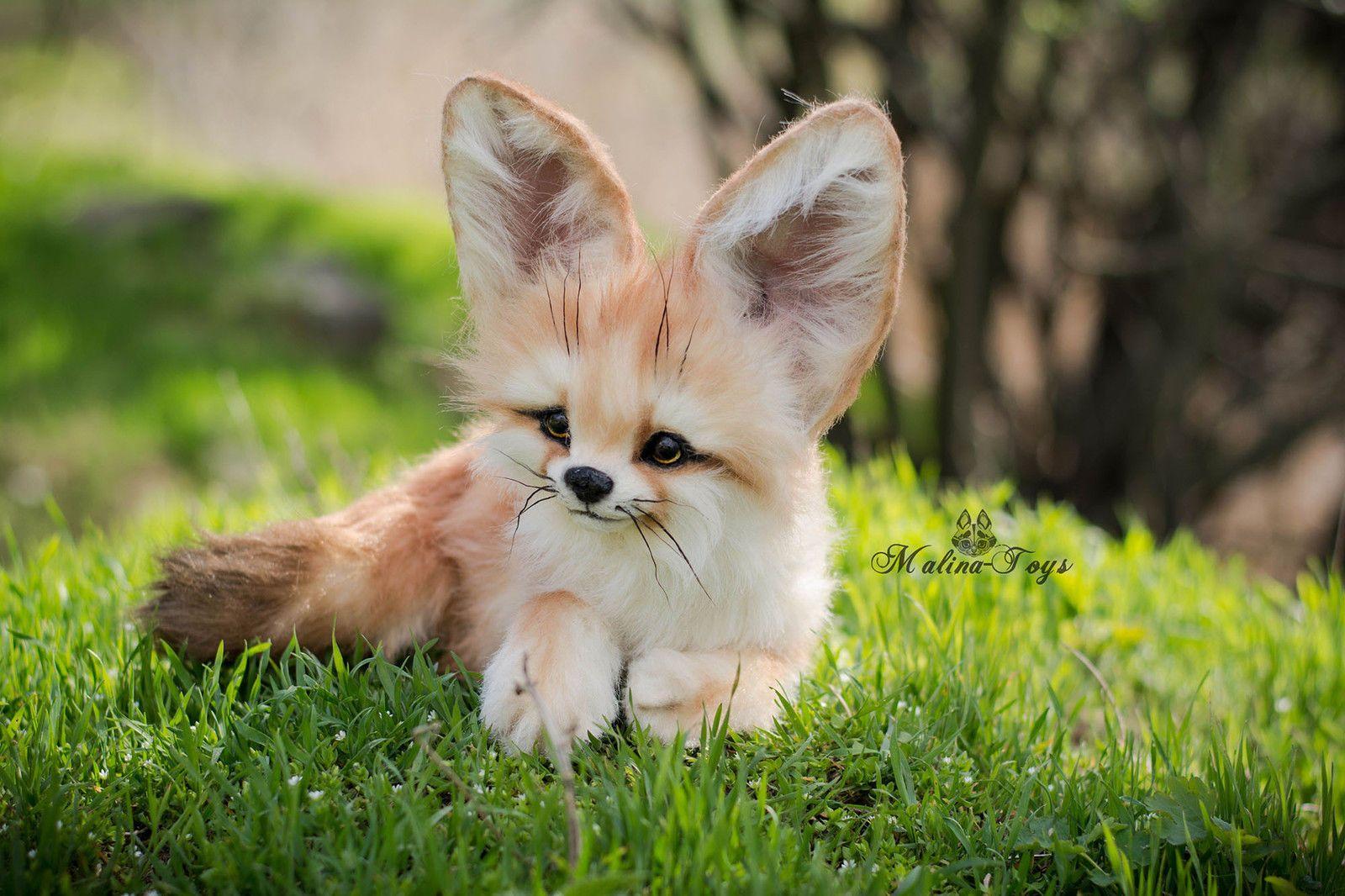 Baby Fennec Fox … | Pinteres… Fennec Fox Newborn