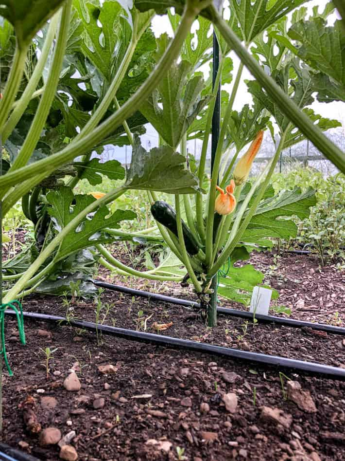 It S Zucchini Season How You Ve Been Growing Them All 640 x 480