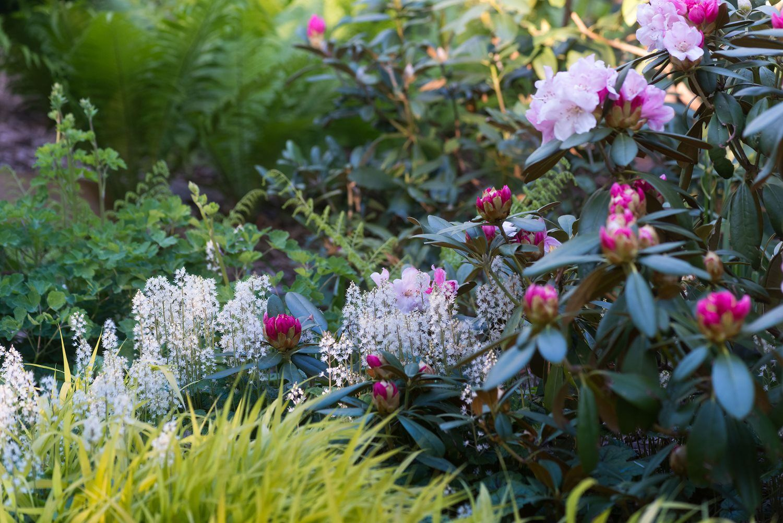 Tiarella cordifolia a way to garden - Glorious Late Spring Early Summer Combination Of Rhododendron Columbine Hakonechloa Macra Foamflower