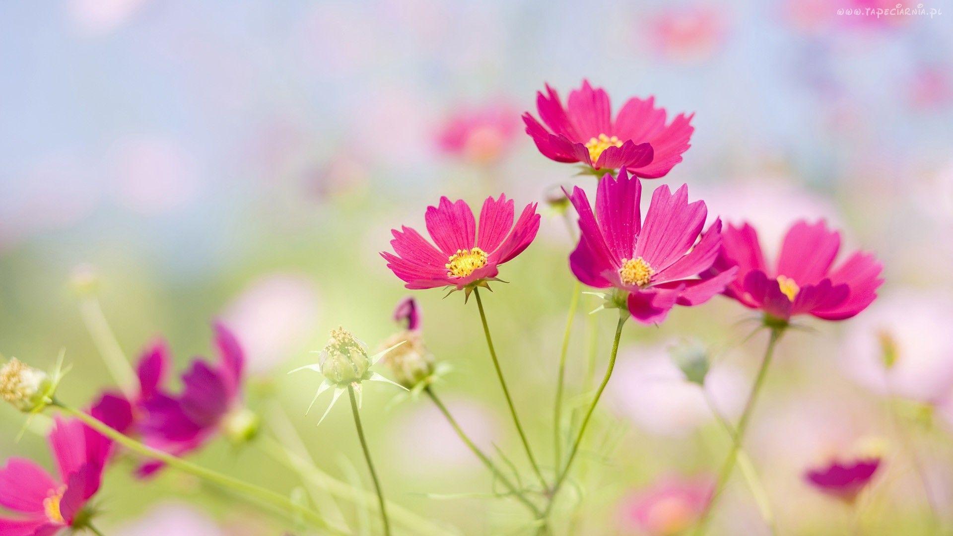 Edycja Tapety Rozowe Kwiaty Polne Tapety Tapeta Zdjecia Tapety Na Pulpit Flower Phone Wallpaper Best Flower Wallpaper Flower Wallpaper