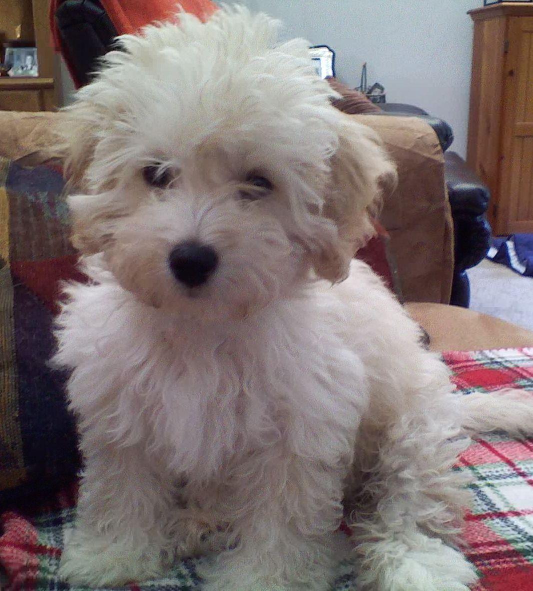 Super Cute Lucy Maltipoo Maltipoo Dog Cute Dogs Cute Animals