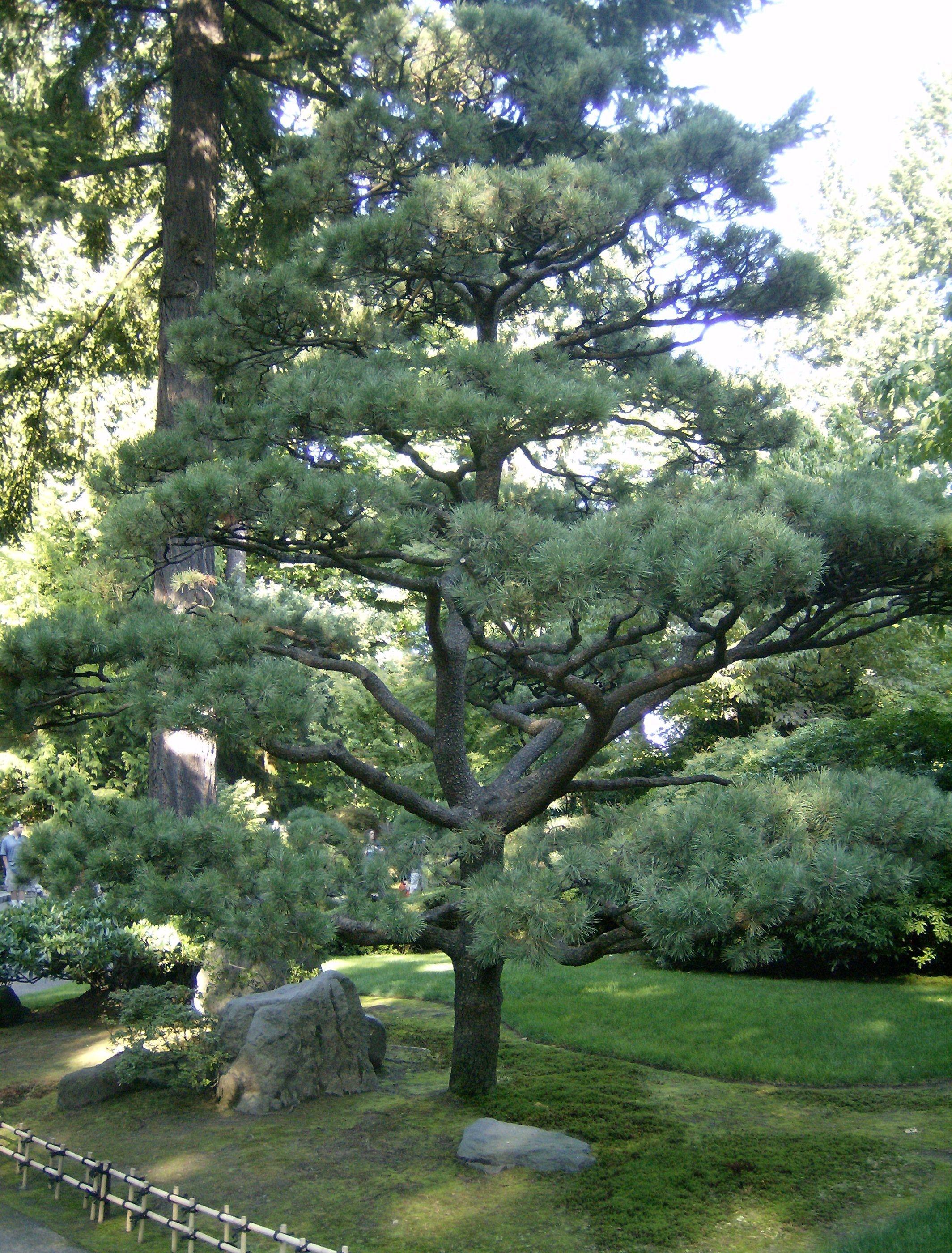 Japanese Black Pine Tree - Pinus Thunbergii