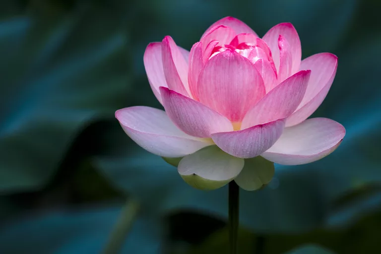 What Is the Importance of the Lotus Flower in Chinese Culture?