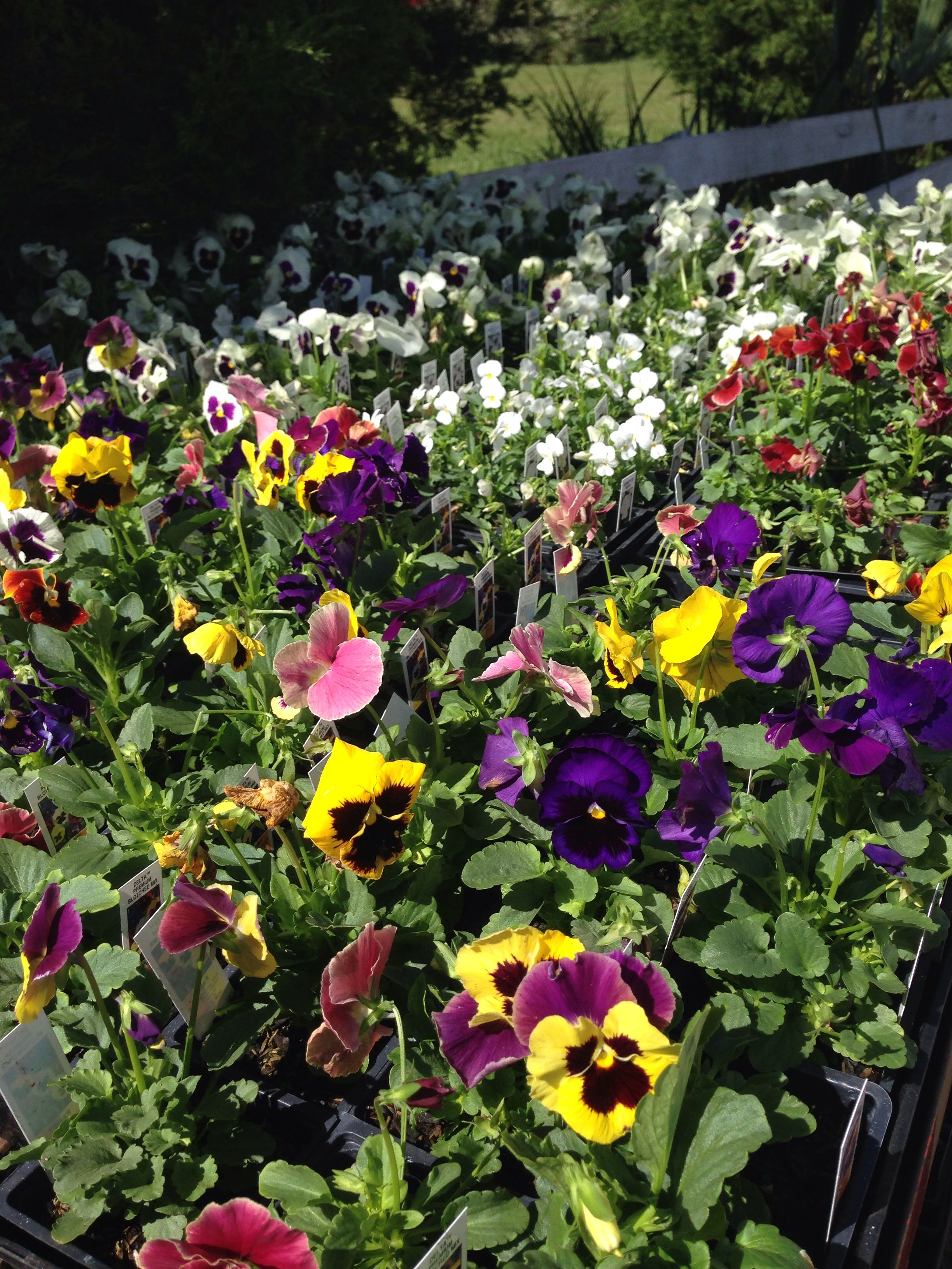 Pansies-Bob Wines Camellia Gardens-Ocala, Fl