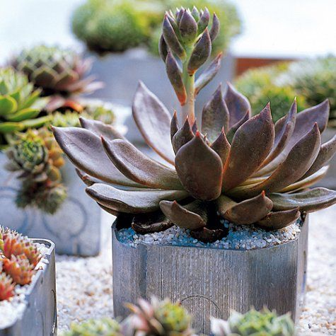 Steel utility boxes from the hardware store make sleek, modern pots. Choose a range of shapes and sizes. Turn so that the side with holes is at the bottom, and plant with low-growing succulents, such as Echeveria 'Black Prince' (left) and Sempervivum; top with gravel. (We used no. 2 grade grit.) For an exotic centerpiece, arrange several in a tray filled with grit.