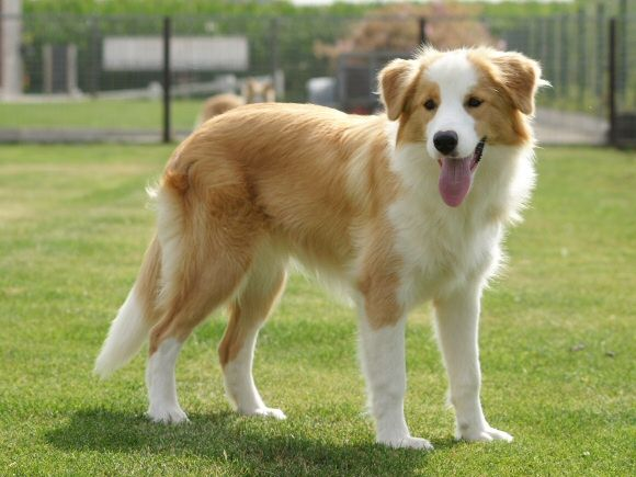 Ee Red Border Collie Bo Of Maranns Kennels Border Collie Dog Collie Dog Red Border Collie