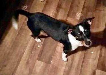 Chipin Dog For Adoption In Tampa Fl Adn 645766 On Puppyfinder