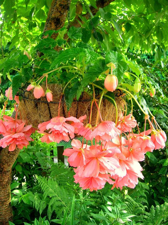 Tuberous Begonia - I need to find this one again this year.