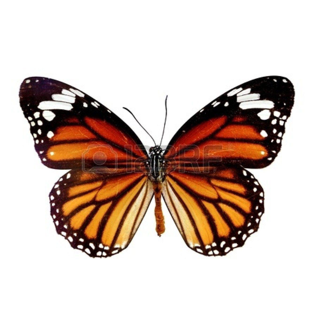 Papillon papillon isol sur fond blanc banque d - 123rf image gratuite ...