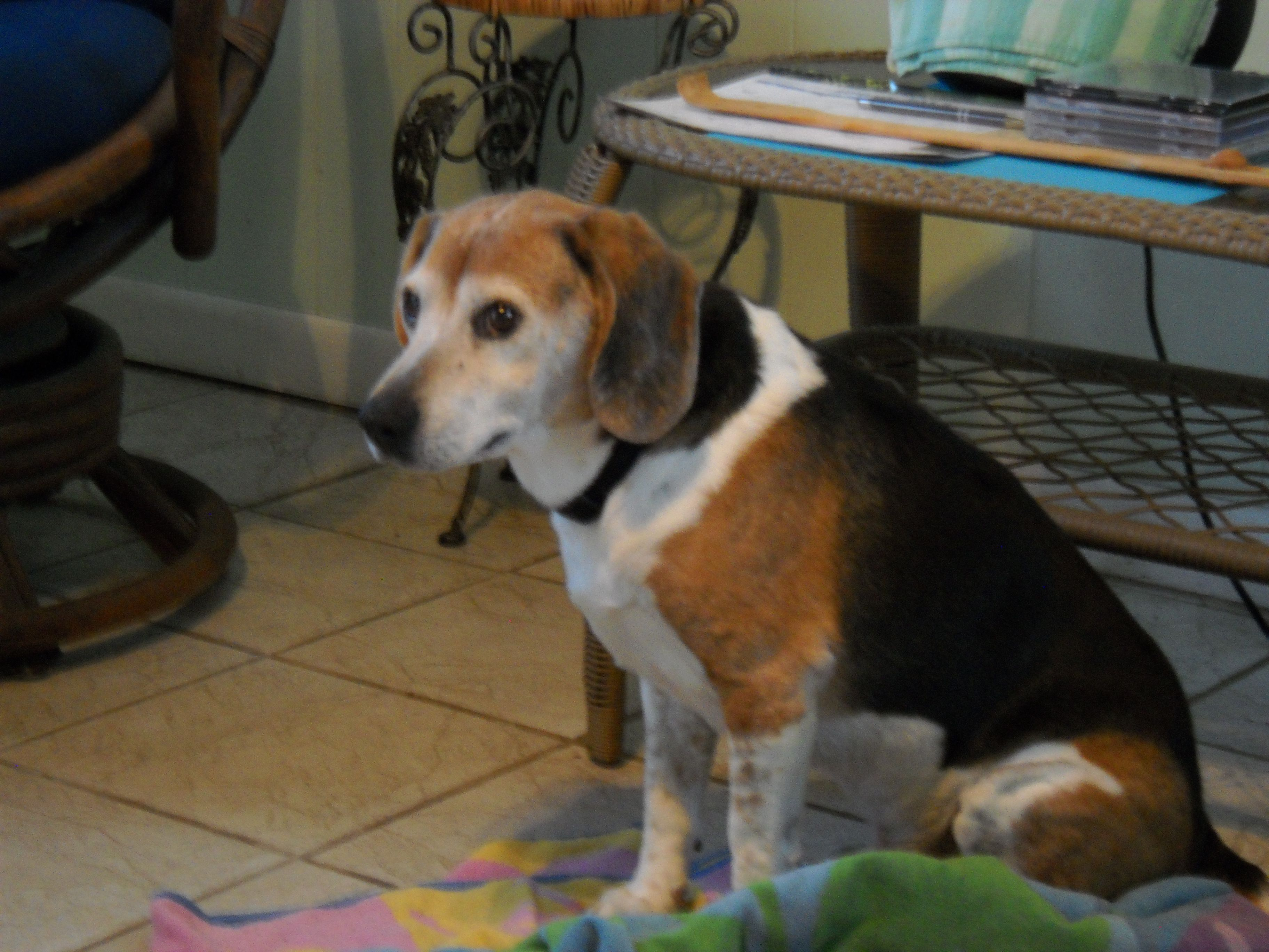 Beagle dog for Adoption in Tampa, FL. ADN450549 on