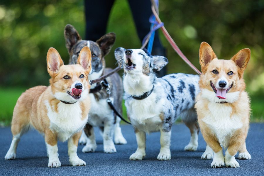 A Gaggle Of Corgis A Blue Merle A Brindle Cardigan Corgi And Two