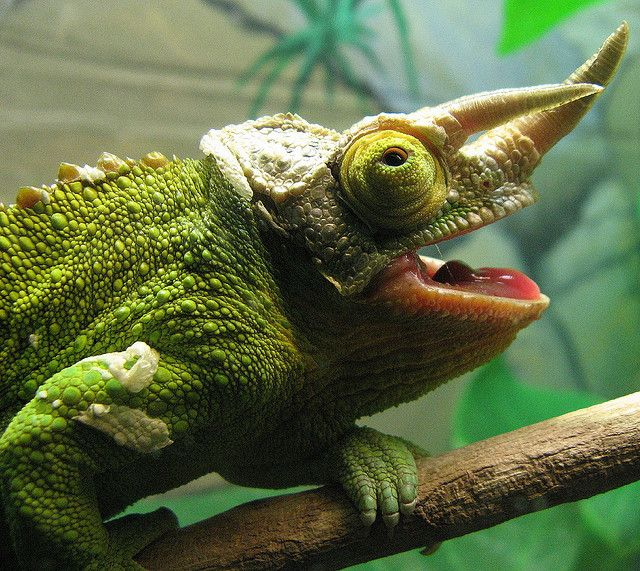 e300935f57f0c90e3b5e07f7dc5e5ae5 - How To Get A Chameleon To Open Its Mouth