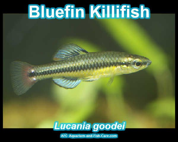 Bluefin Killifish