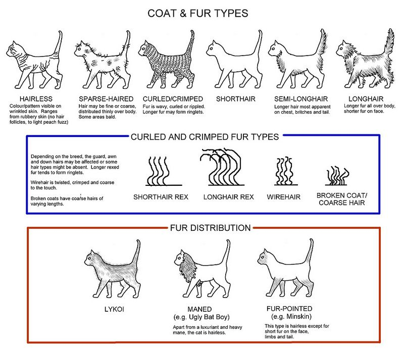 Hairless Cat Curly Cats, Types Of Cat Fur Coats