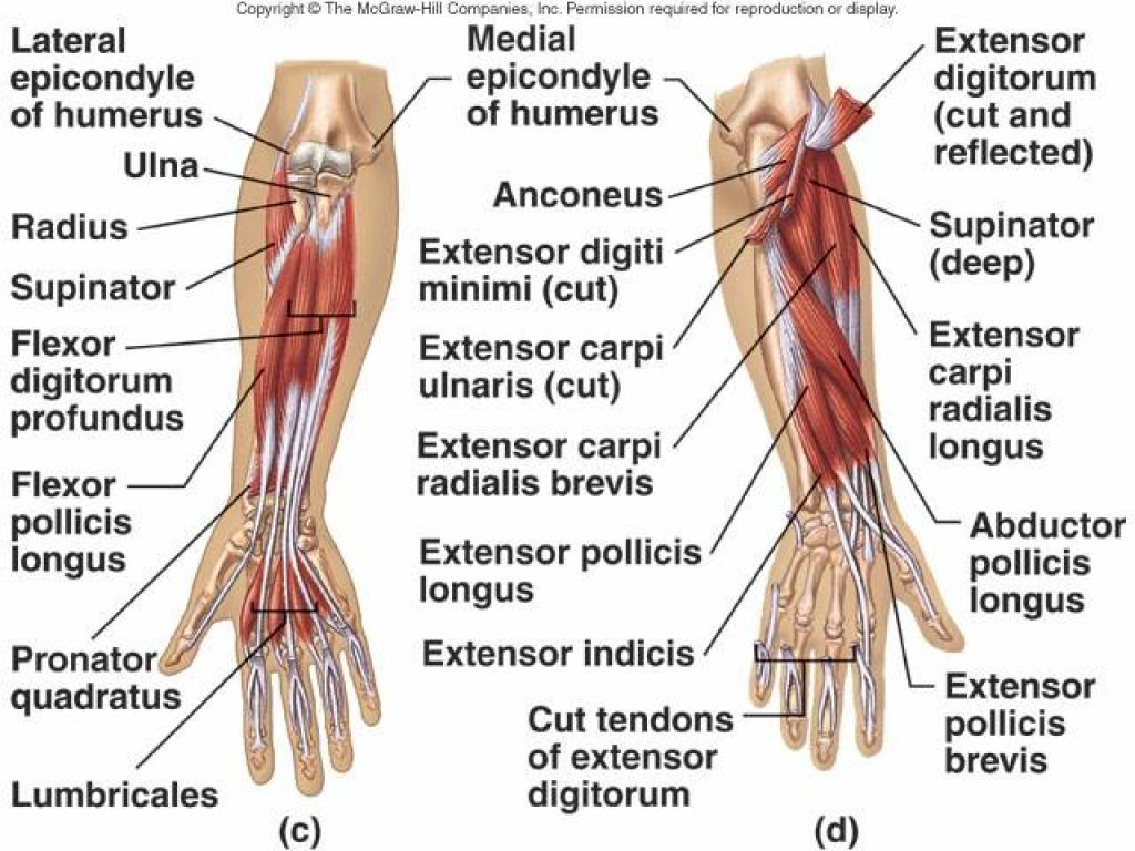 Wrist Flexors Muscles Wrist Flexor Tendon Anatomy Anatomy Human Body