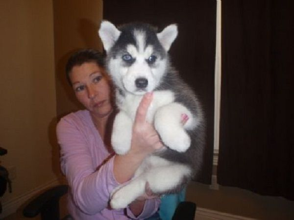 Siberian Husky Puppies For Sale Philippines Zoe Fans Blog