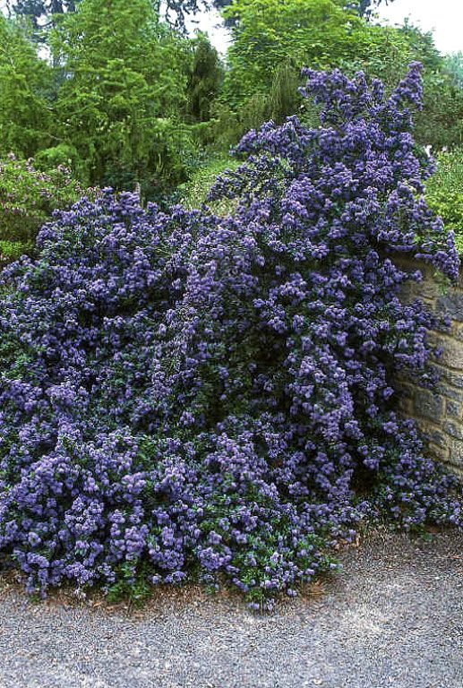ceanothus blue mound evergreen shrub height 30cm. Black Bedroom Furniture Sets. Home Design Ideas