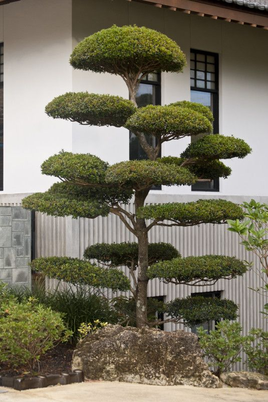 Buddhist Ceremony Traditional Japanese Garden: Small Manicured Tree At The Morikami Japanese Garden