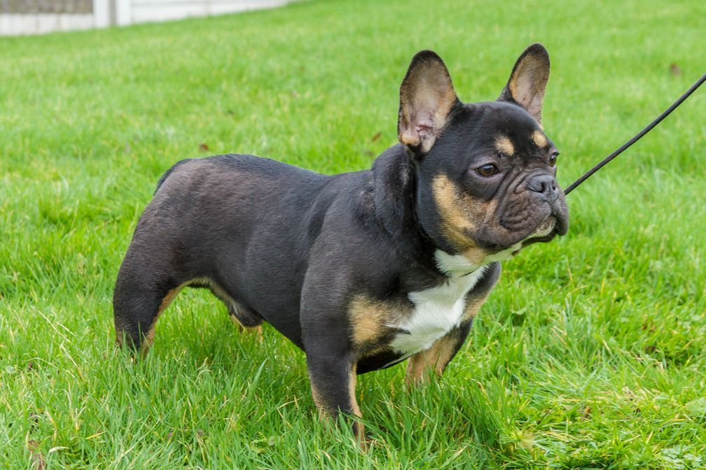 Black Tan French Bulldog Dsm Hc Tested Kc Reg Lytham St Annes