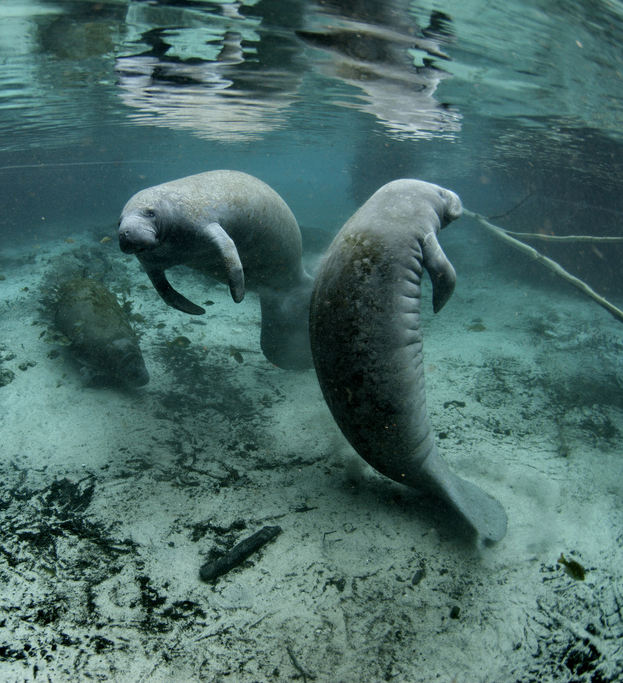 You can view manatees in the wild around Anna Maria Island
