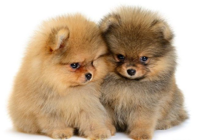 Top 44 Pomeranian Puppies Fluffy Dogs Cute Baby Animals