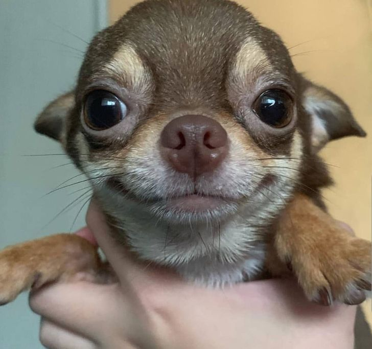 20+ Photos Proving That Chihuahuas Are Small but Have Big Hearts