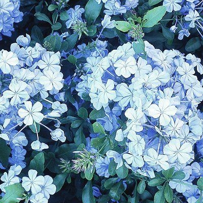 Texas Plants Blue Flowers Garden Plumbago Shrub Red White Ideas Bridal Showers