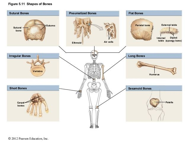 This Image Depicts The Shoes Of Bones Examples Of Flat Bones Are