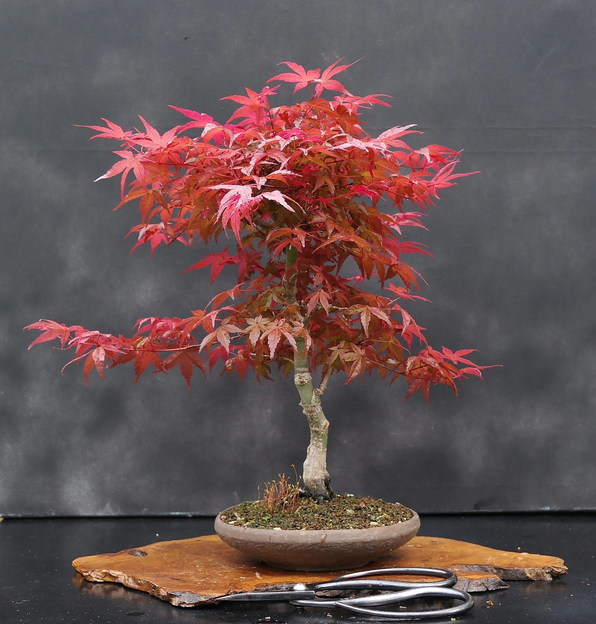 What Is The Best Indoor Bonsai Tree For Beginners Indoorbonsaitrees Indoor Bonsai Tree Indoor Bonsai Bonsai Tree Care