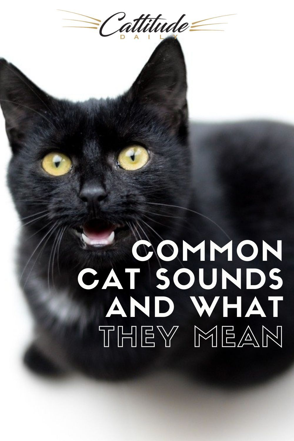 Identifying Common Cat Sounds And What They Mean In 2020 Cat Facts Funny Cats Cat Facts