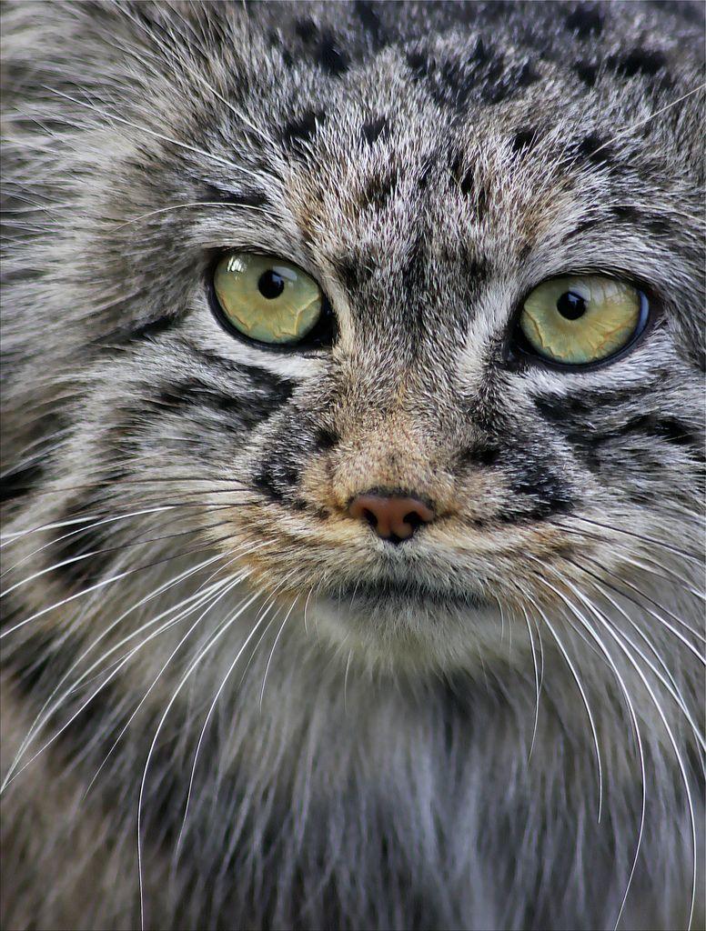 Pallas cat Манул, Милые котики и Милые животные