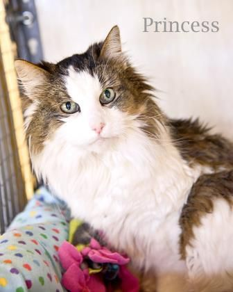 Princess Manx Mix Available For Adoption In Des Moines Iowa